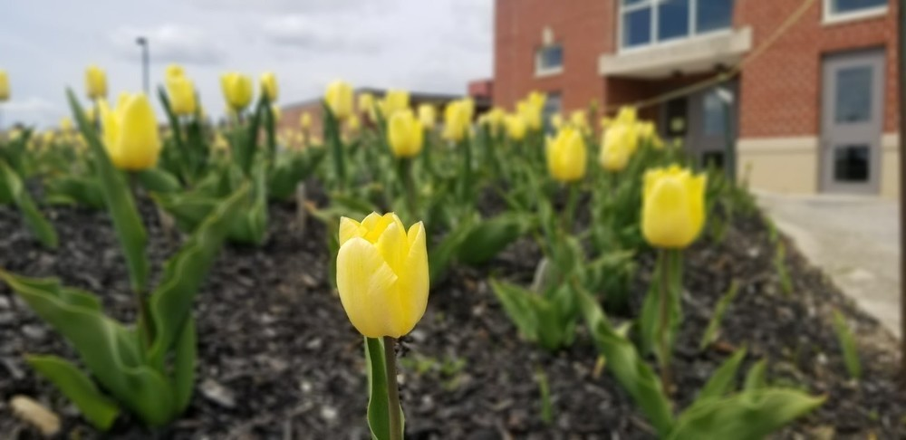 The Yellow Tulip Project Hope Garden at CEMS